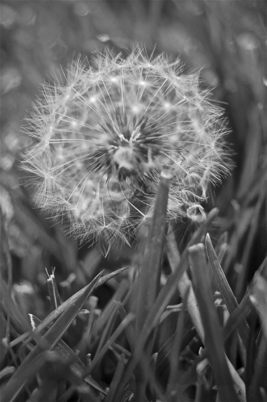 Guilty Pleasures: Black and White photo of a dandelion gone to seed.