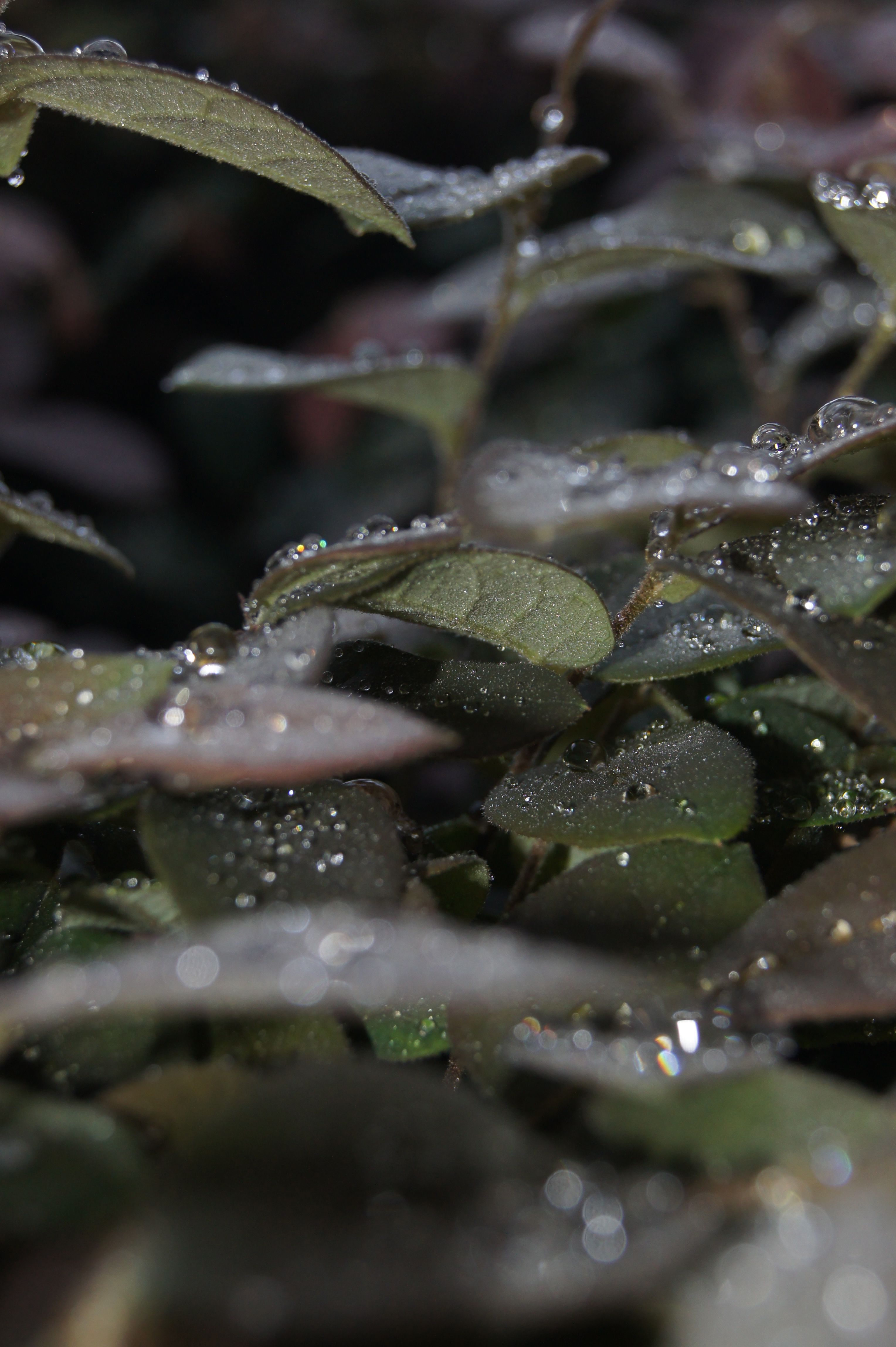 Dew Covered Bush