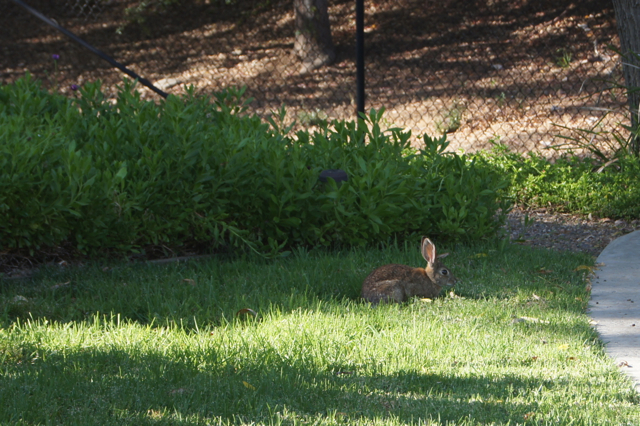 Photo of a rabbit munching on grass.
