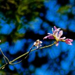 Weekly Photo 3/52 for 2013: Silk Floss Tree