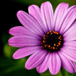 Weekly Photo 5/52 for 2013: Purple Daisy