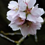 Weekly Photo 6/52 for 2013: Almond Blossoms