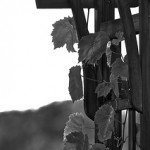 Weekly Photo 26 & 27 / 52 for 2013: Grape Vines & Hummingbird